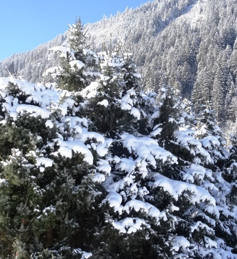 MB-Schnee-Mayrhofen-Bäume